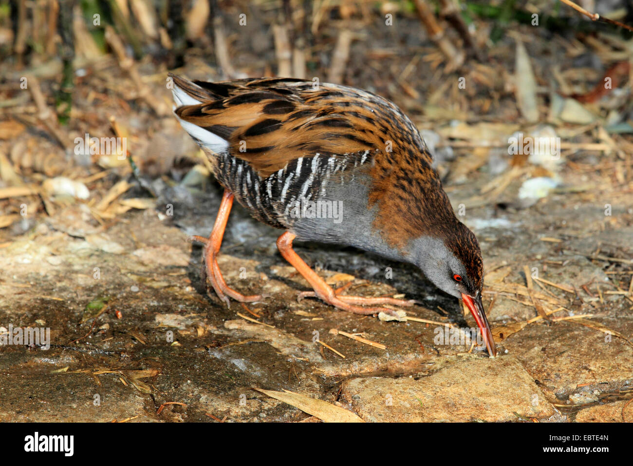 water rail (Rallus aquaticus), looking for food on stony ground, Germany - Stock Image