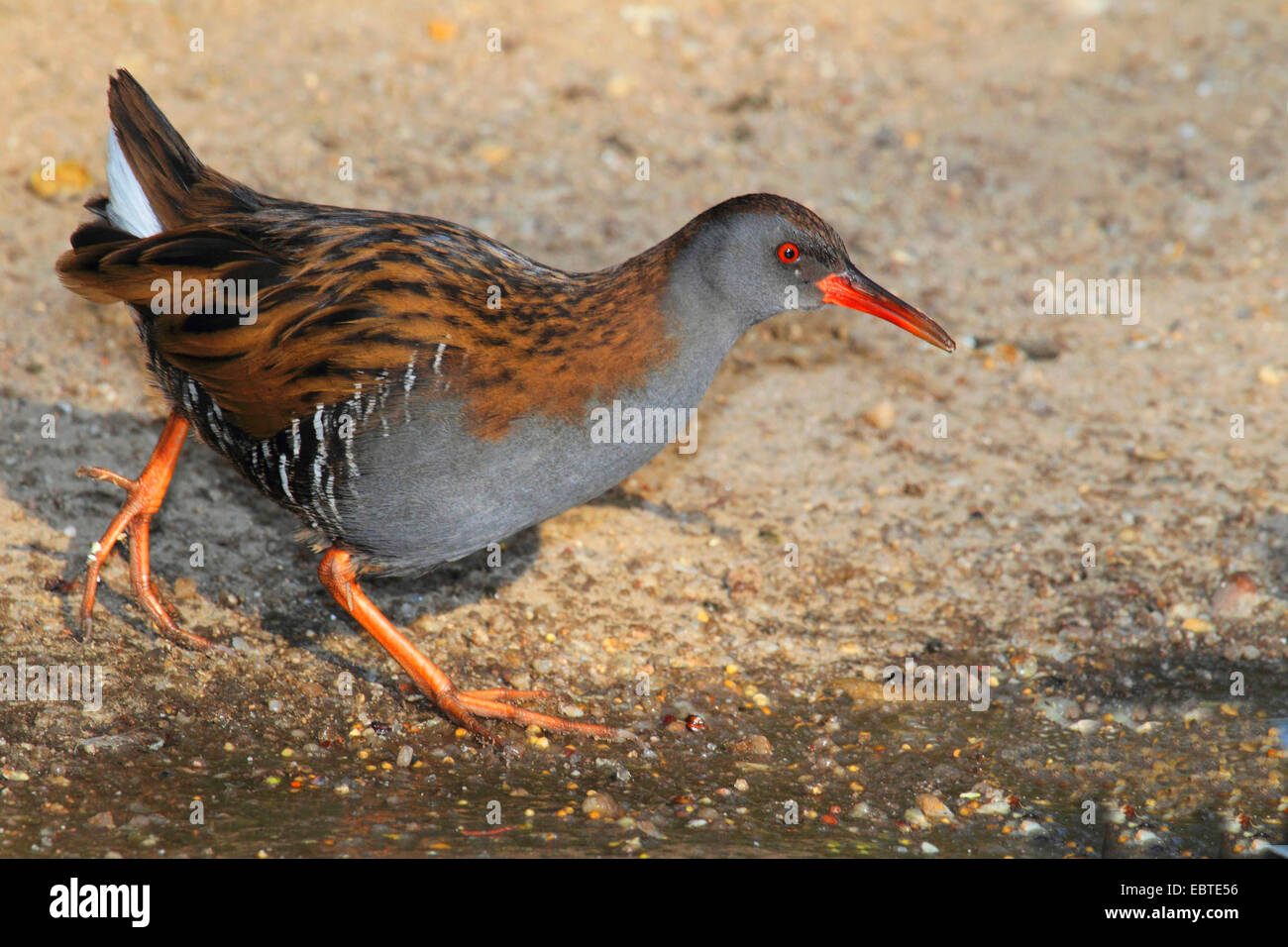 water rail (Rallus aquaticus), walking at the sand shore of a water, Germany - Stock Image