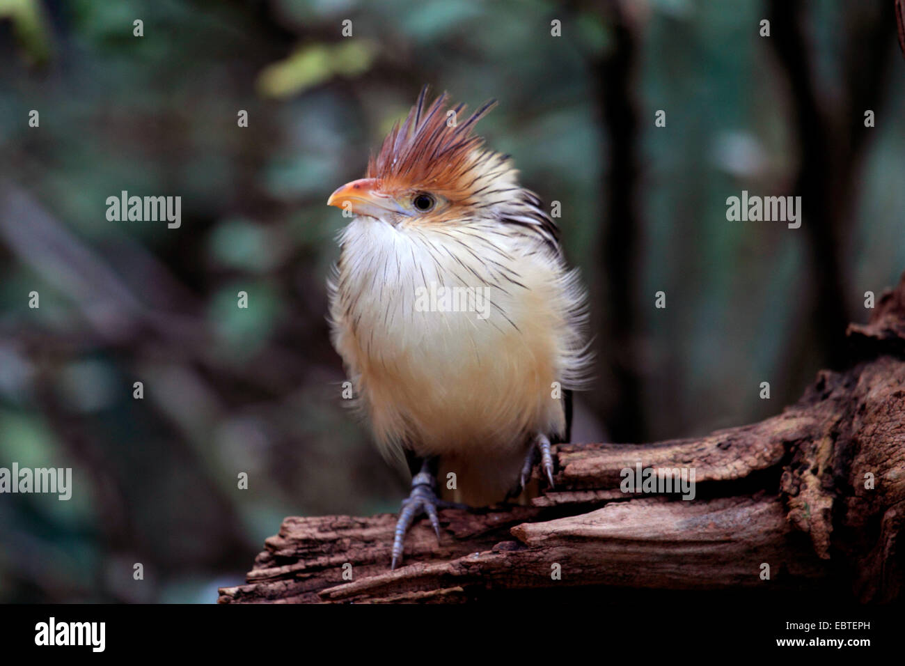 guira cuckoo (Guira guira), sitting on dead wood - Stock Image