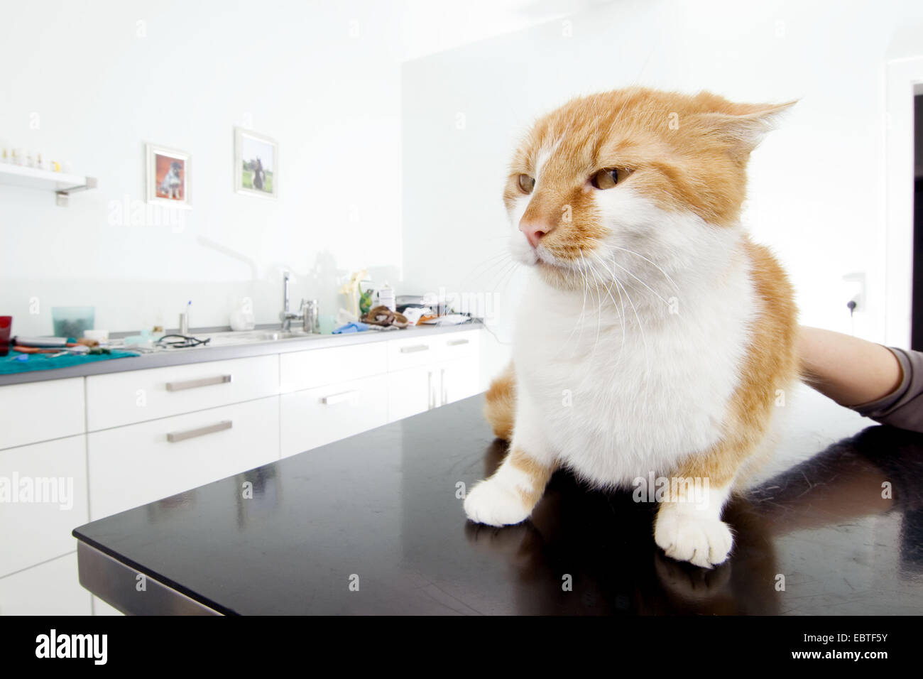 domestic cat, house cat (Felis silvestris f. catus), on table of a veterinary practice - Stock Image