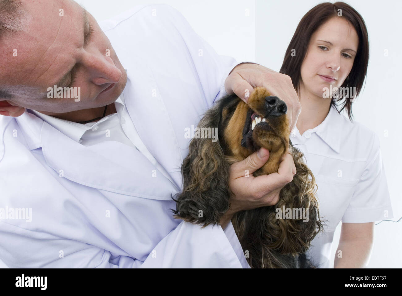 English Cocker Spaniel (Canis lupus f. familiaris), vet checking the teeth of a dog - Stock Image