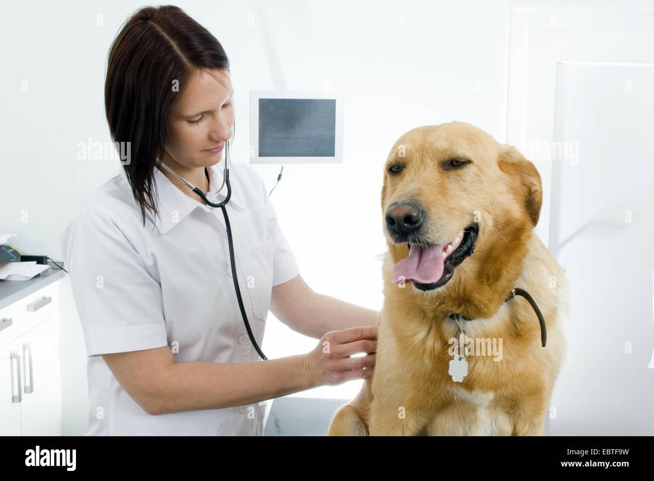 Labrador Retriever (Canis lupus f. familiaris), female vet checking a dog - Stock Image