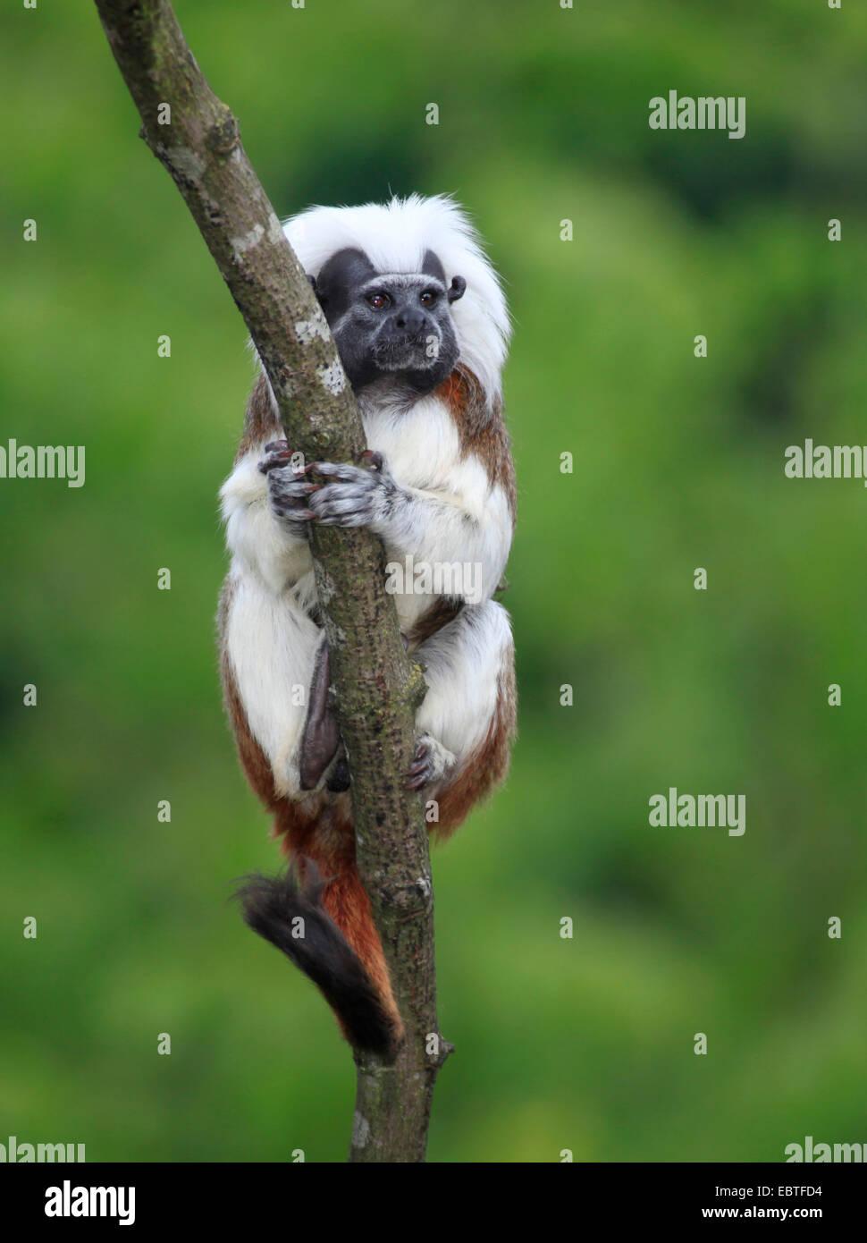 cotton-top tamarin, white-plumed tamarin (Saguinus oedipus, Oedipomidas oedipus), hanging at a tree - Stock Image