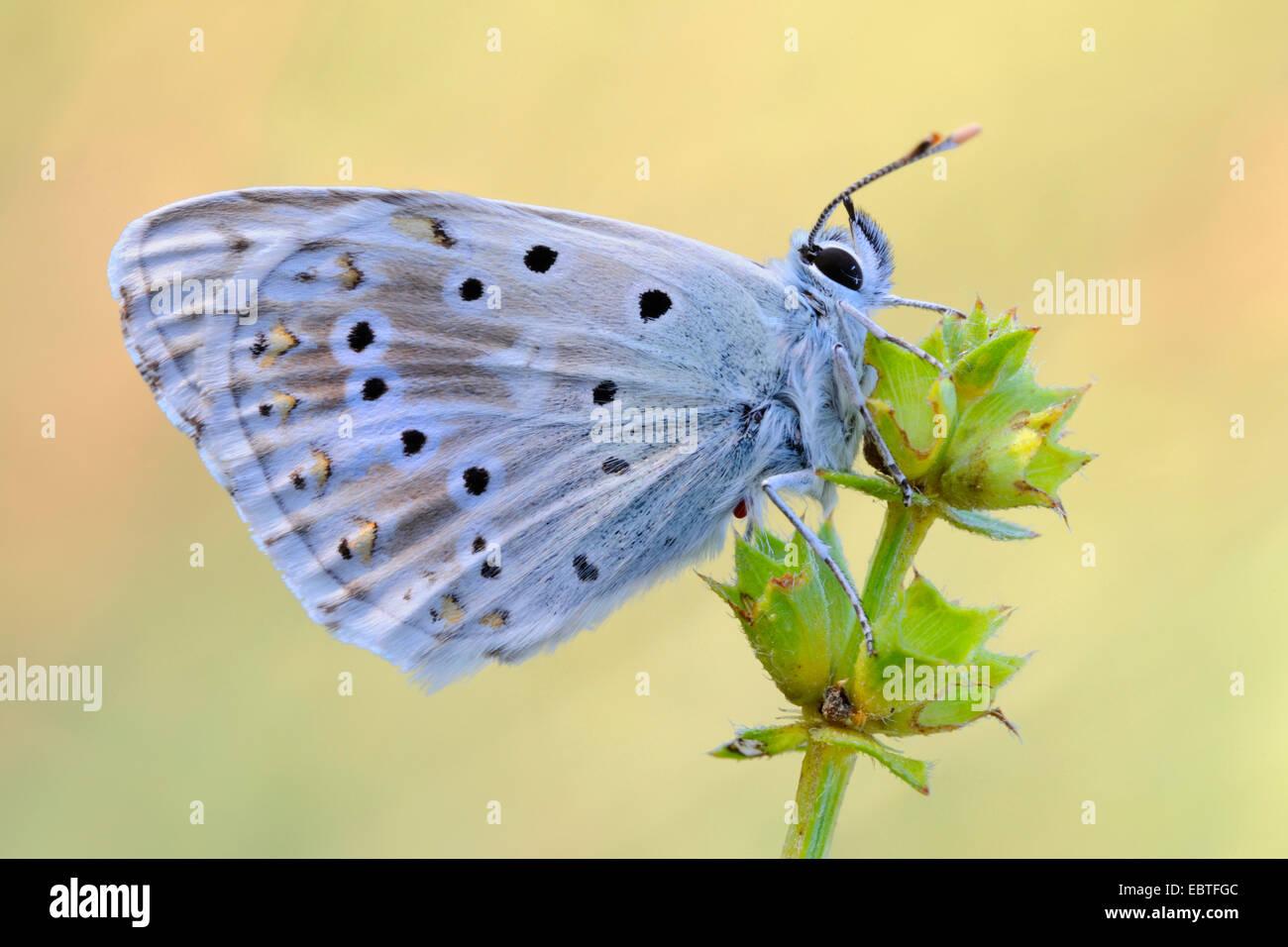 chalk-hill blue (Polyommatus coridon, Meleageria coridon), sitting at blossoms, Germany - Stock Image