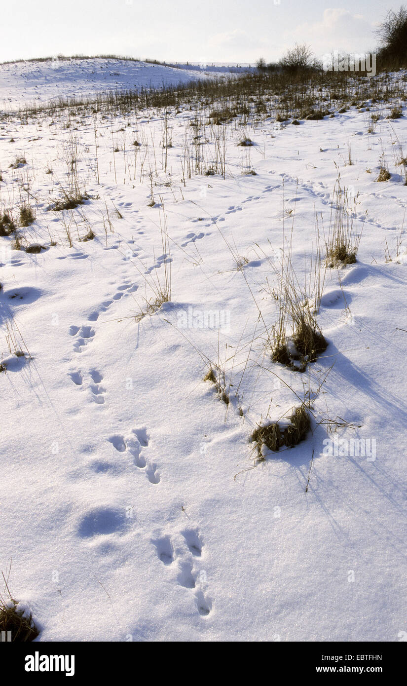 European hare (Lepus europaeus), tracks in snow, Germany - Stock Image