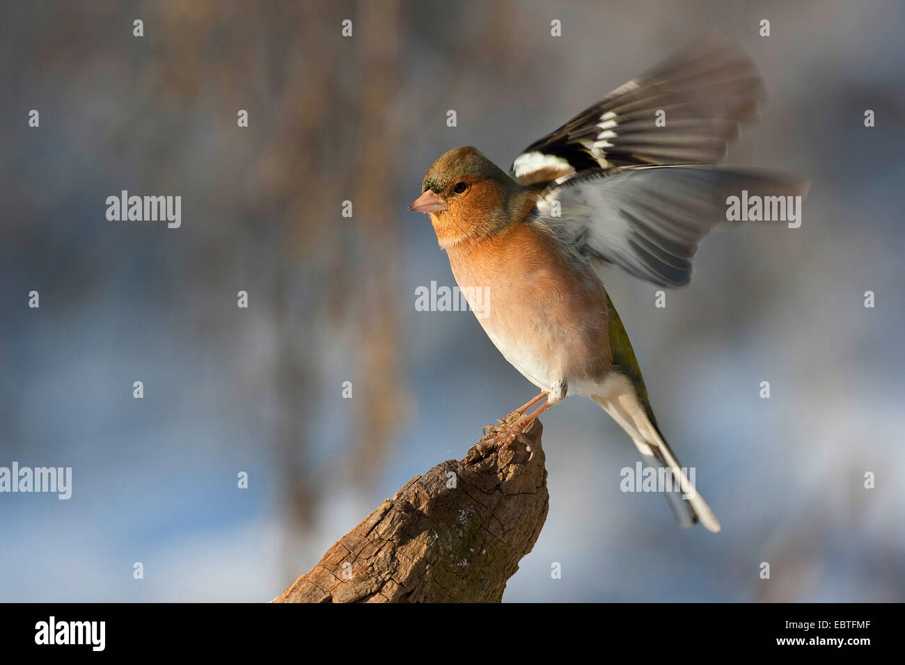 chaffinch (Fringilla coelebs), male flaping wings, Germany - Stock Image