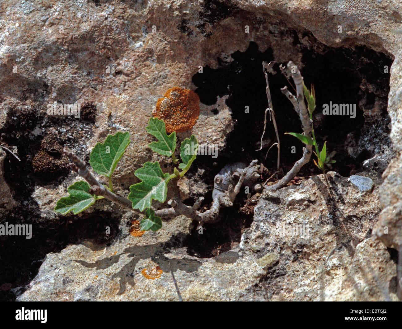 edible fig, common fig (Ficus carica), wild in a rock crevice, Greece, Peloponnes Stock Photo