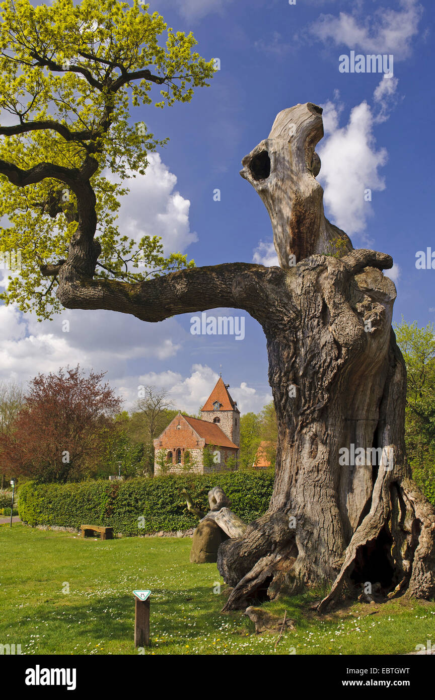 oak (Quercus spec.), 1000 years old tree, Germany, Lower Saxony, Landkreis Oldenburg, Doetlingen - Stock Image