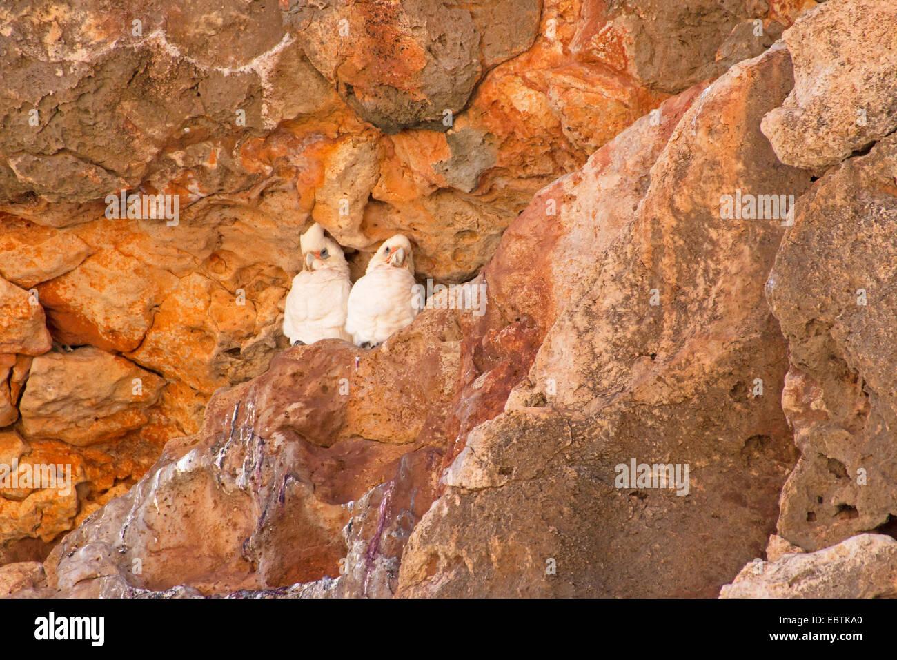 little corella (Cacatua sanguinea), pair in the nest, Australia, Western Australia, Cape Range National Park - Stock Image