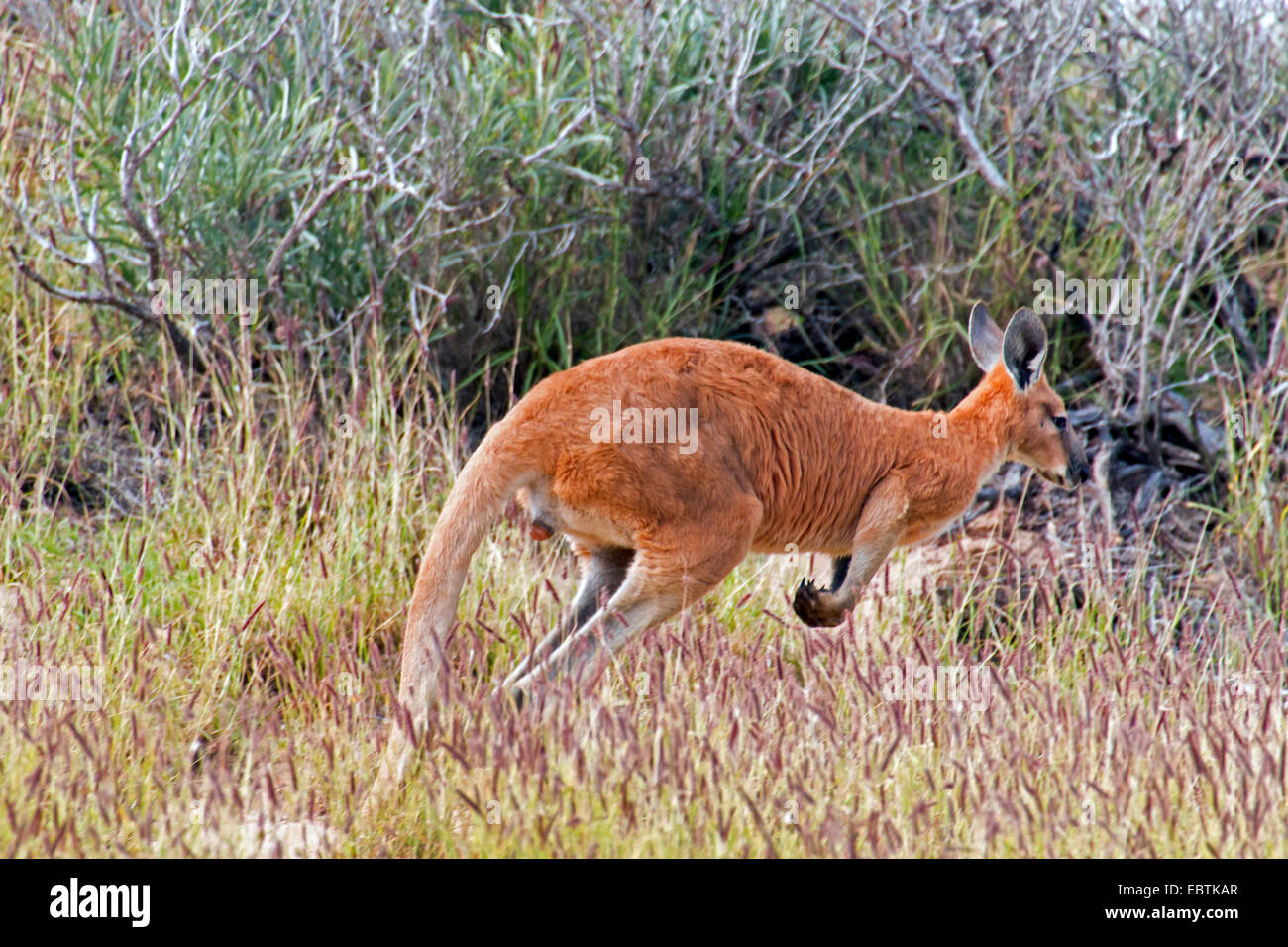 red kangaroo, plains Kangaroo, blue flier (Macropus rufus, Megaleia rufa), jumping in the shrubbery, Australia, - Stock Image