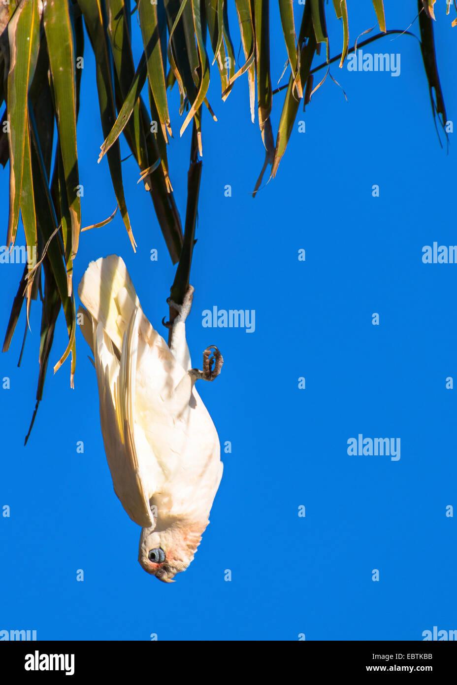 little corella (Cacatua sanguinea), klimbing on a palm tree, Australia, Western Australia, Carnarvon National Park - Stock Image