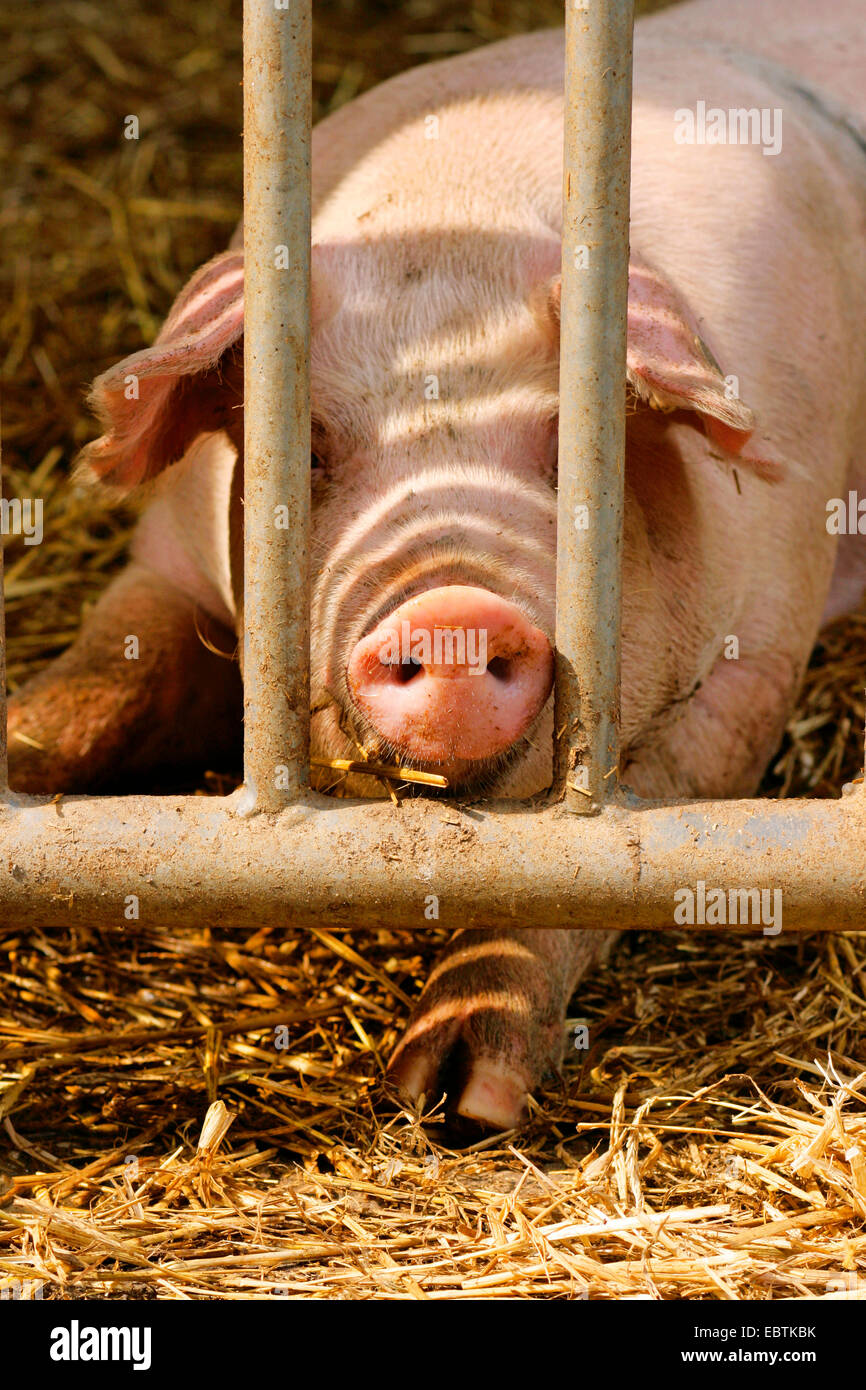 Modern Pig Sty: Gate With Sty Stock Photos & Gate With Sty Stock Images