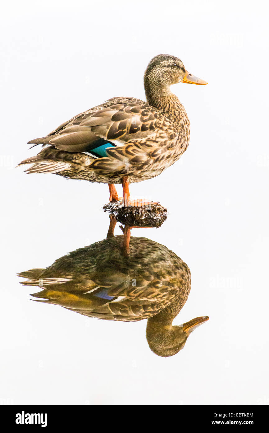 mallard (Anas platyrhynchos), female being reflected in the water, Norway, Troms, Prestvannet - Stock Image