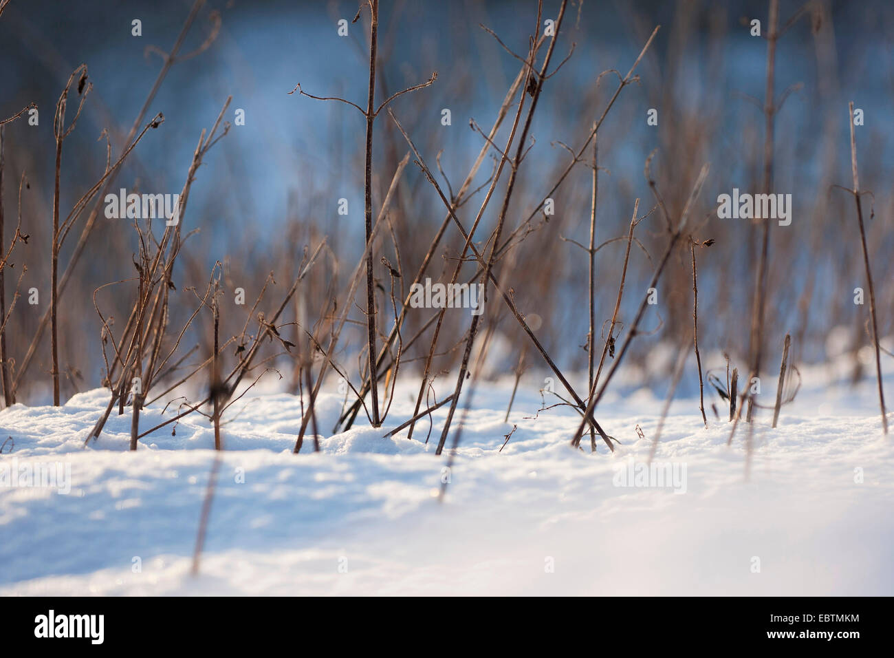 withered blades in snow, Germany, Rhineland-Palatinate - Stock Image