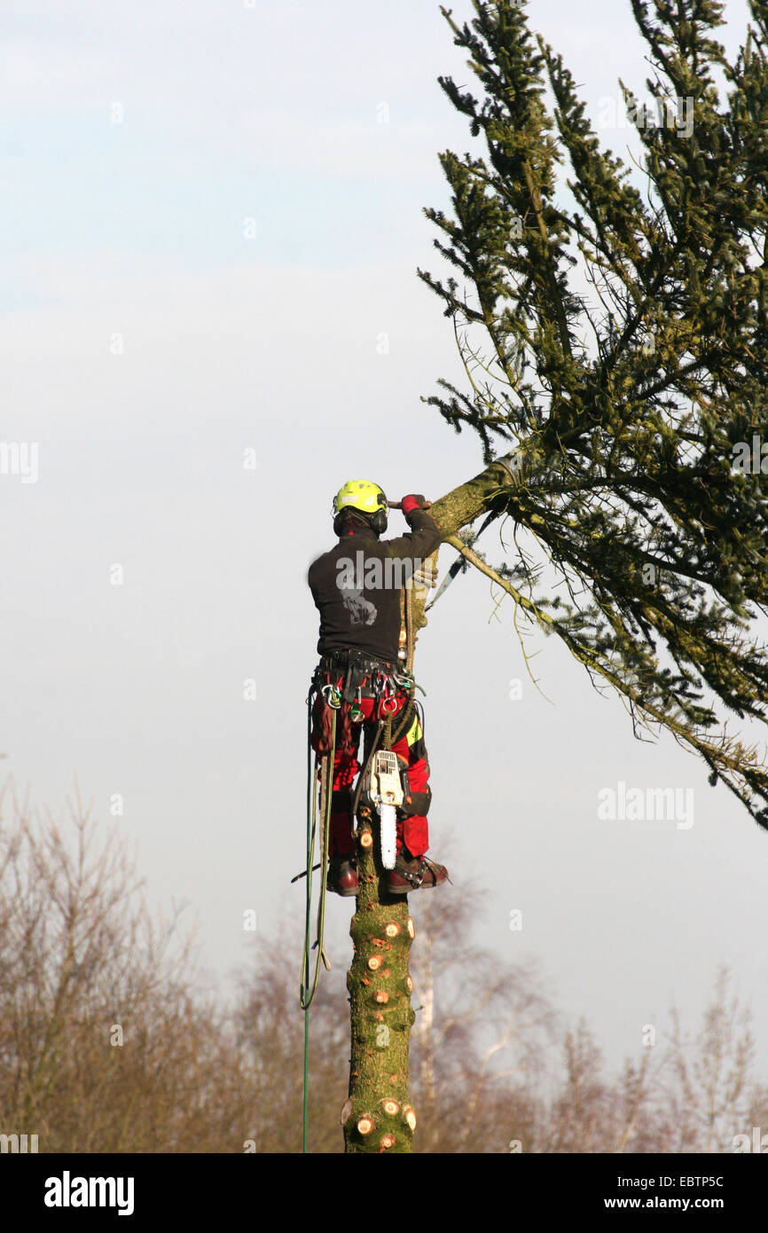 Norway spruce (Picea abies), lumberman felling a spruce, Germany, North Rhine-Westphalia Stock Photo