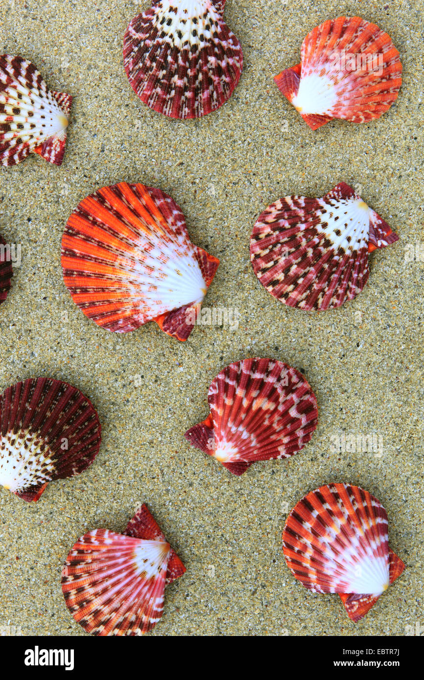 Cone snail (Pecten pallium), shells in sand, United Kingdom, Scotland - Stock Image