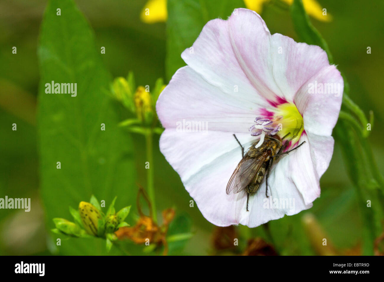 field bindweed, field morning-glory, small bindweed (Convolvulus arvensis), blossom with fly for pollination, Germany, - Stock Image