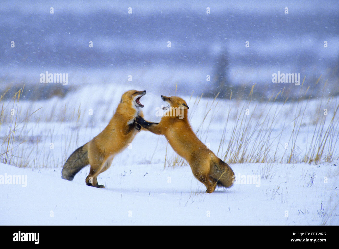 red fox (Vulpes vulpes), Red Foxes in winter fighting, Canada, Manitoba, Churchill - Stock Image