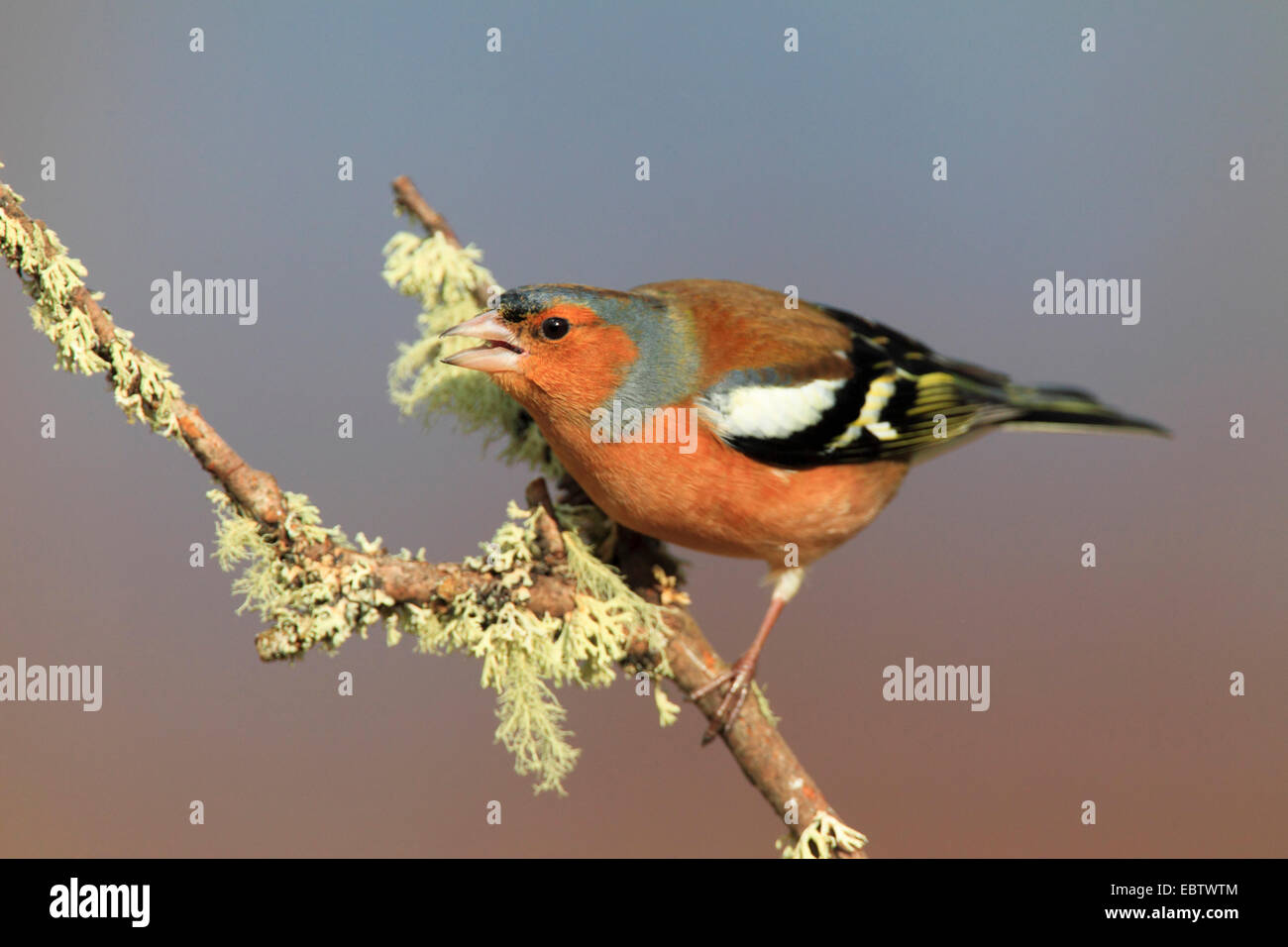 chaffinch (Fringilla coelebs), sitting on branch, United Kingdom, Scotland, Cairngorms National Park - Stock Image