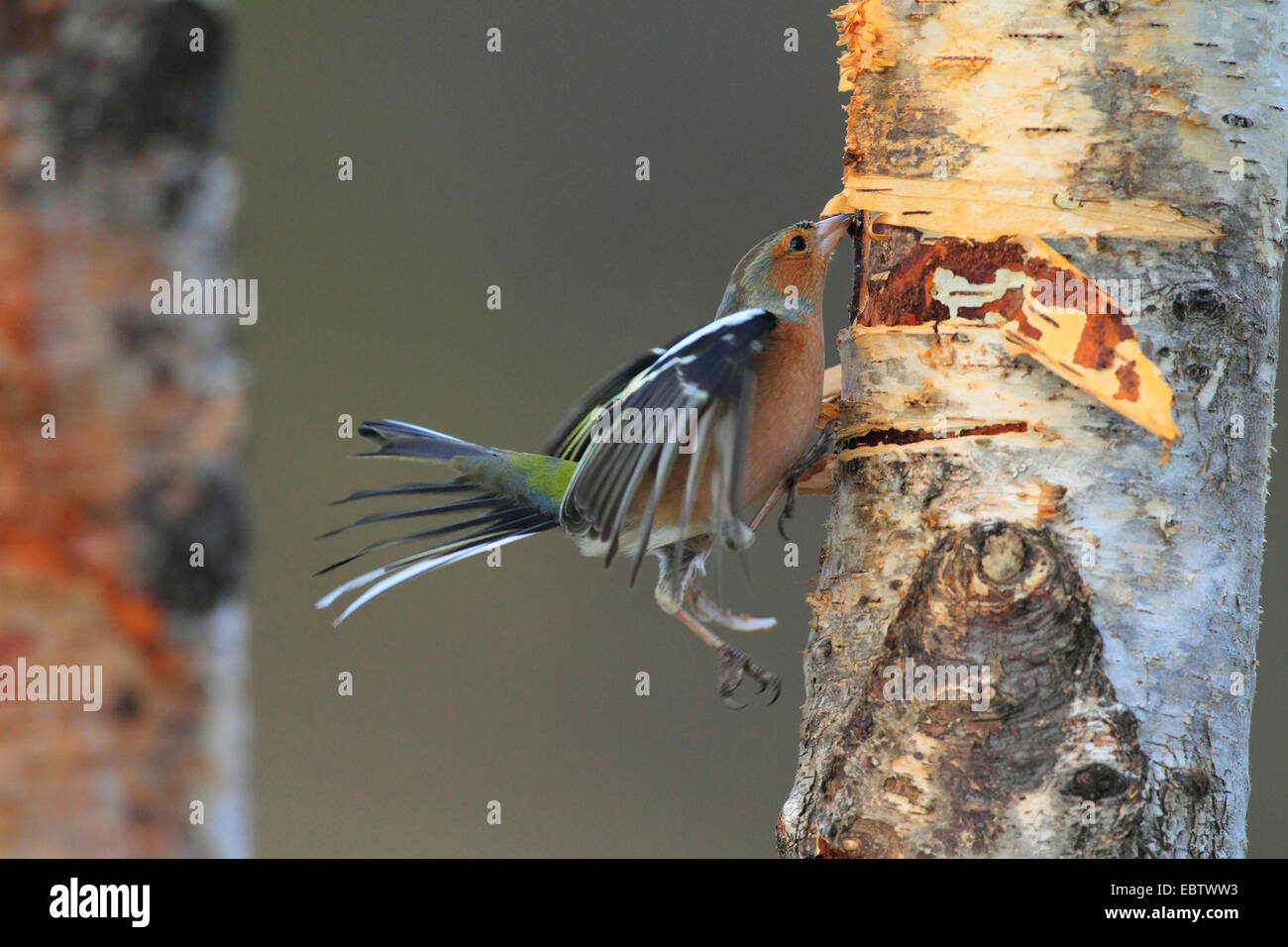 chaffinch (Fringilla coelebs), at birch trunk searching food under bark, United Kingdom, Scotland, Cairngorms National - Stock Image