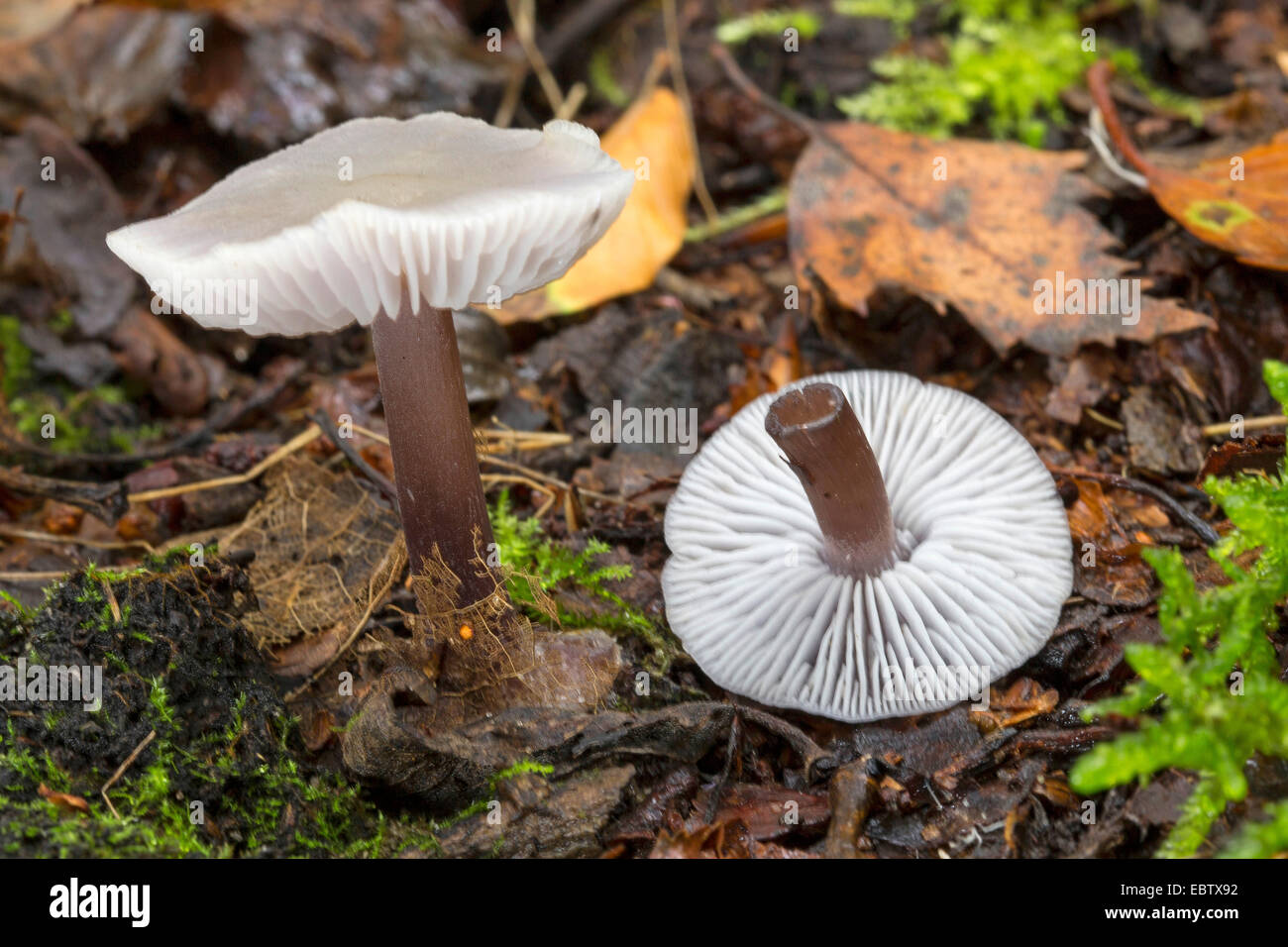 lilac bonnet (Mycena pura, Prunulus purum), two fruiting bodies on forest ground, Germany - Stock Image