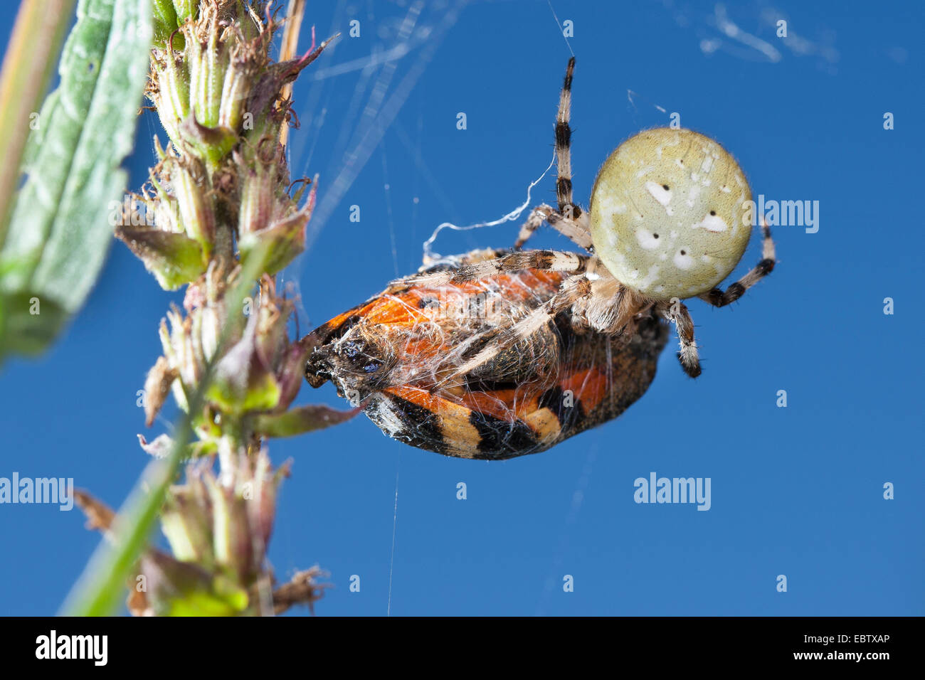 fourspotted orbweaver (Araneus quadratus), caught a butterfly, Germany - Stock Image
