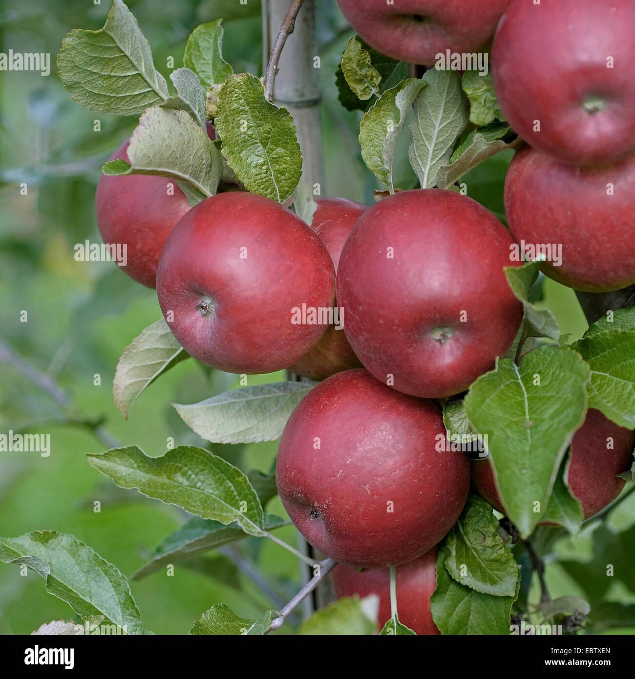 apple tree (Malus domestica 'Jonathan', Malus domestica Jonathan), cultivar Jonathan, apples on a tree - Stock Image