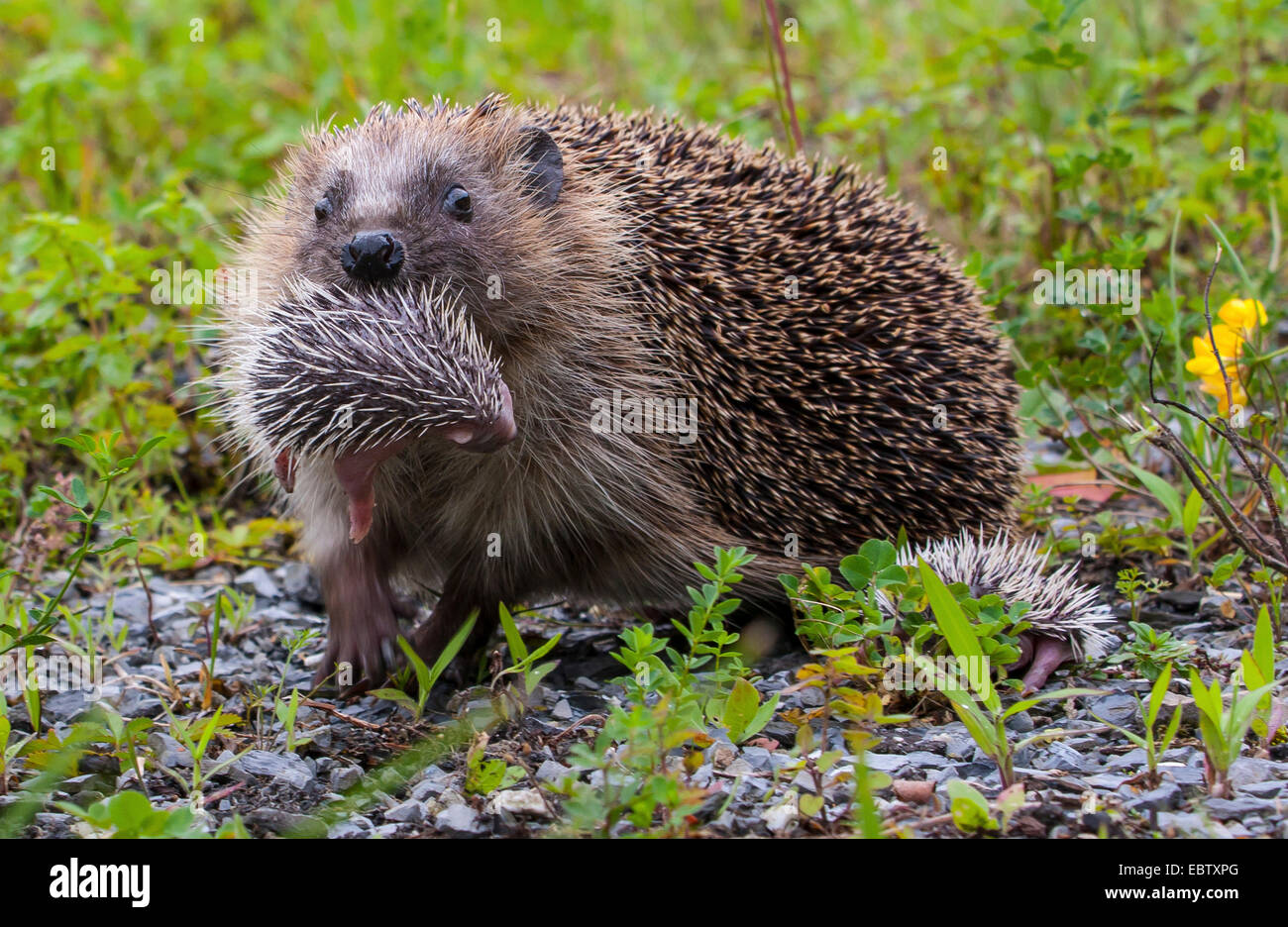 Western hedgehog, European hedgehog (Erinaceus europaeus), mother hedgehog carrying its infant in its mouth, Switzerland, - Stock Image