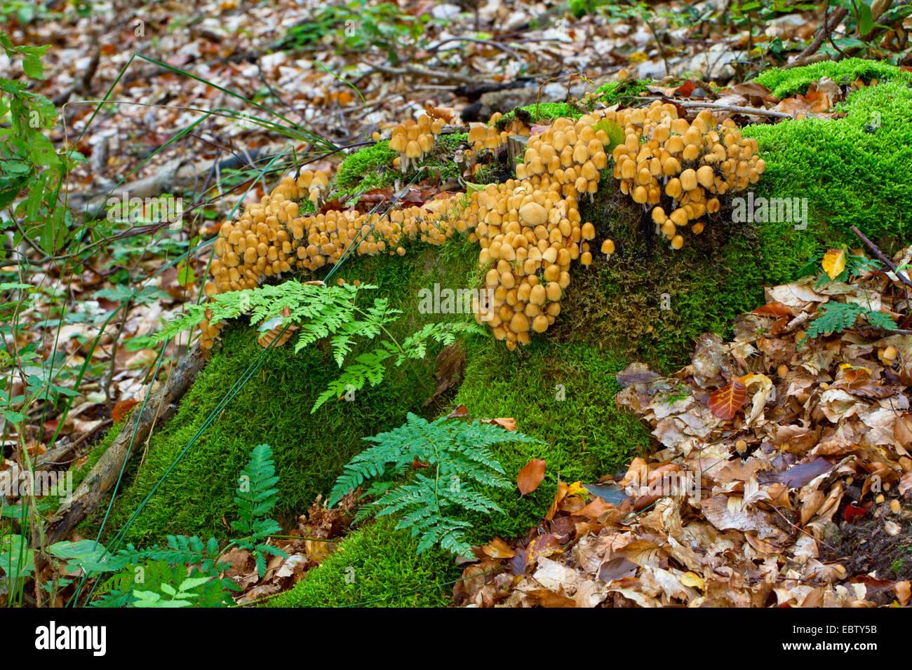 glistening inkcap (Coprinus micaceus), on mossy tree snag, Germany, Mecklenburg-Western Pomerania - Stock Image