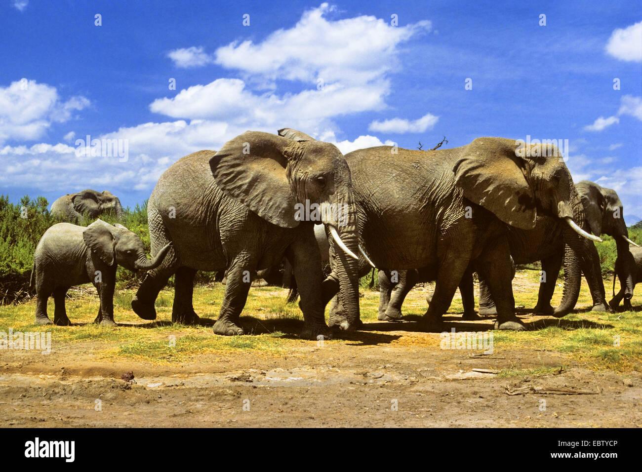 African elephant (Loxodonta africana), herd of elephants, Kenya, Amboseli National Park - Stock Image