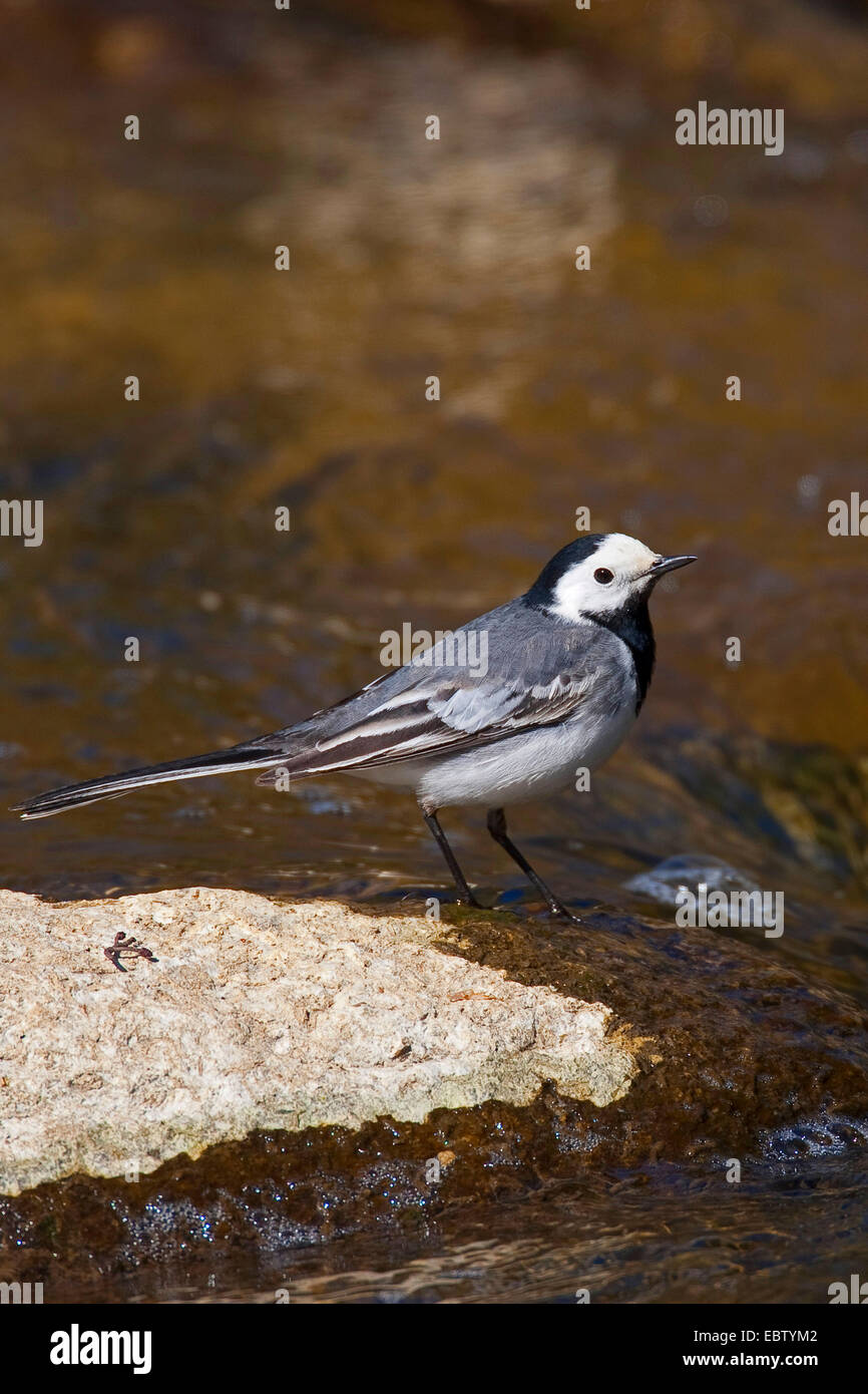 pied wagtail (Motacilla alba), standing in a creek, Germany - Stock Image