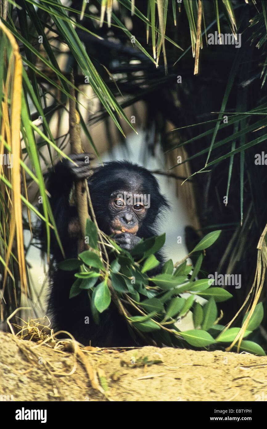 bonobo, pygmy chimpanzee (Pan paniscus), pup with branch - Stock Image