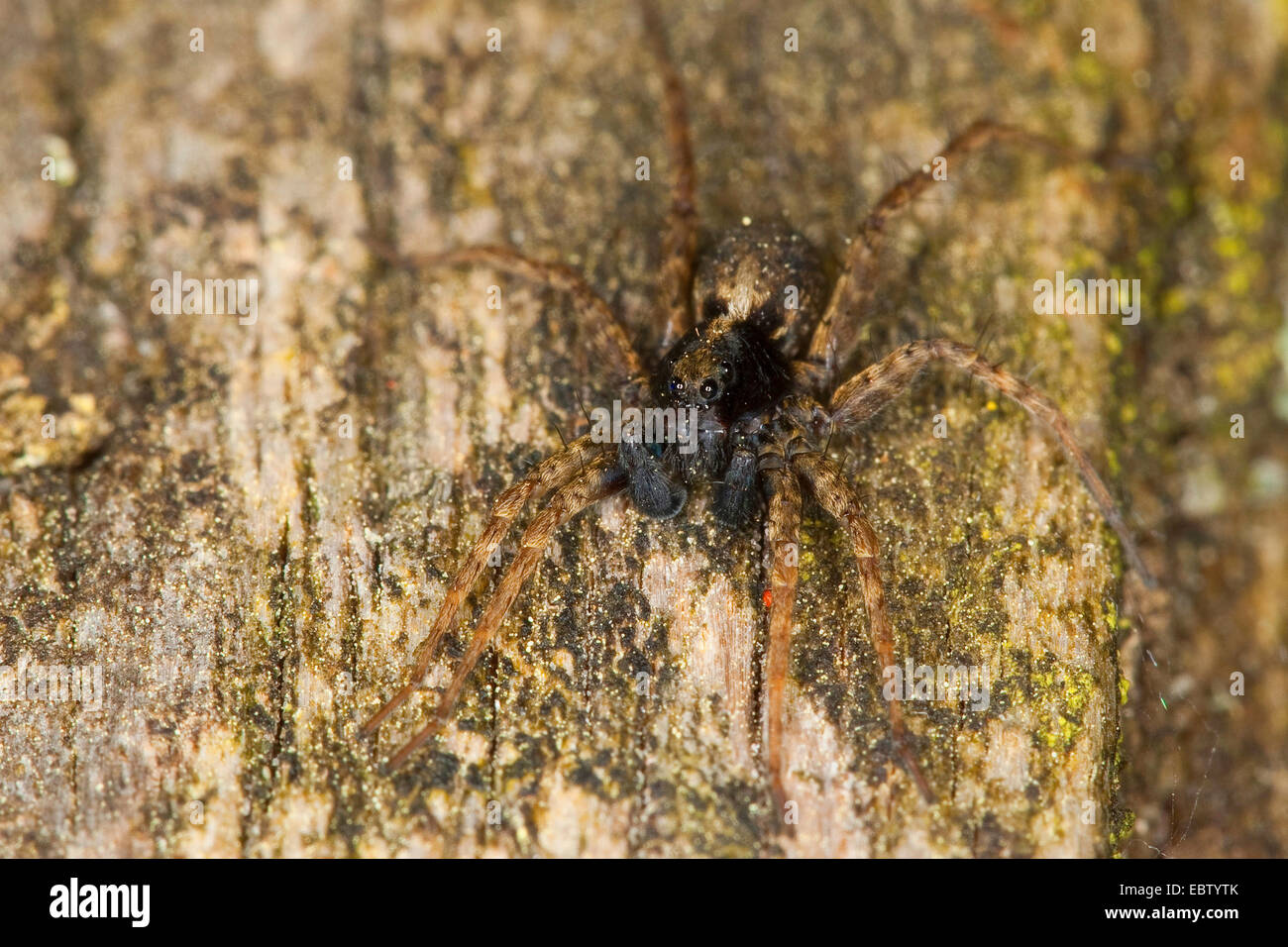 Spotted wolf spider, Ground spider (Pardosa amentata), male, Germany - Stock Image
