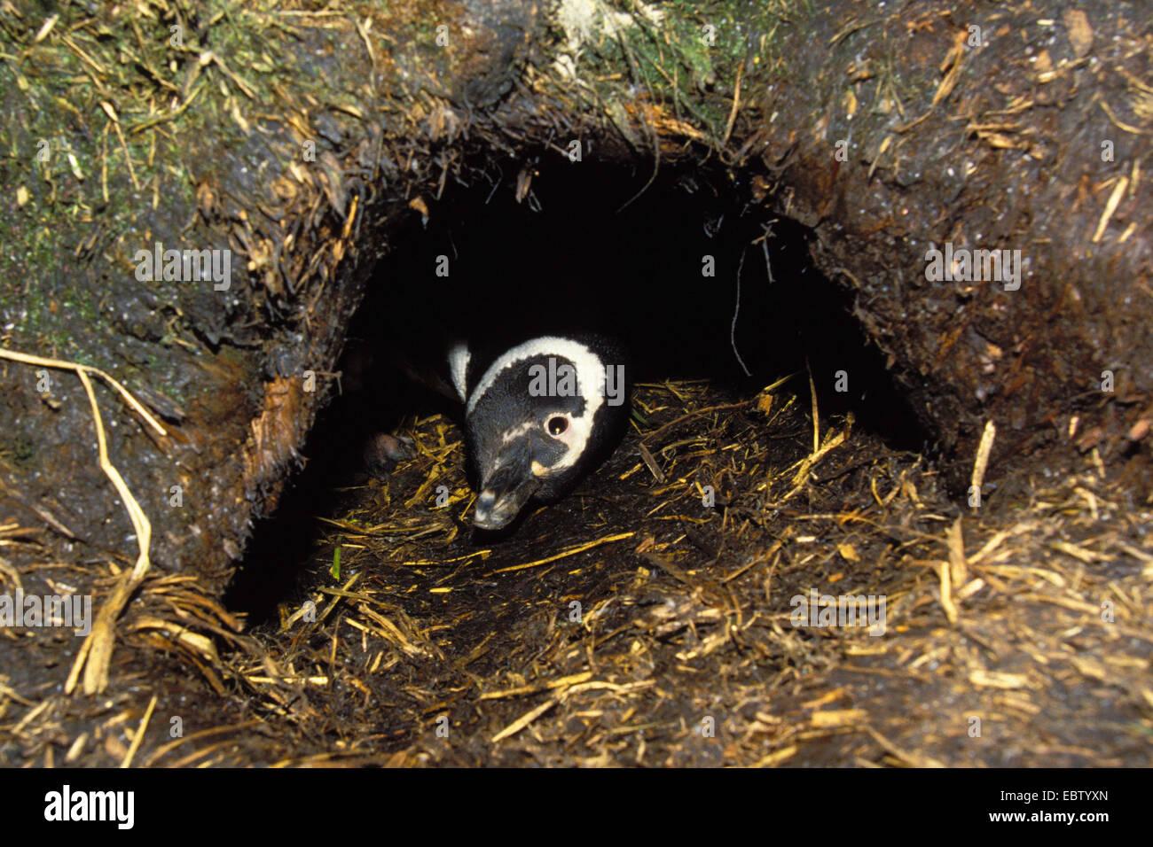 Magellanic penguin (Spheniscus magellanicus), peering from its den, Chile, Kap Hoorn - Stock Image