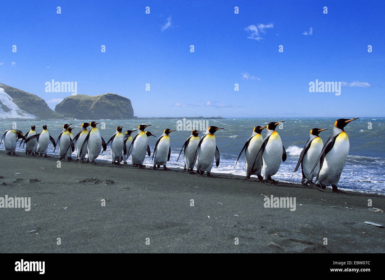 king penguin (Aptenodytes patagonicus), King Penguins lined up, Suedgeorgien - Stock Image