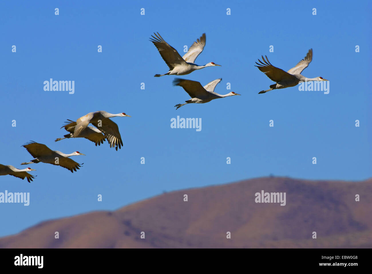 sandhill crane (Grus canadensis), Sandhill Cranes in flight, USA, New Mexico, Bosque del Apache Wildlife Refuge - Stock Image