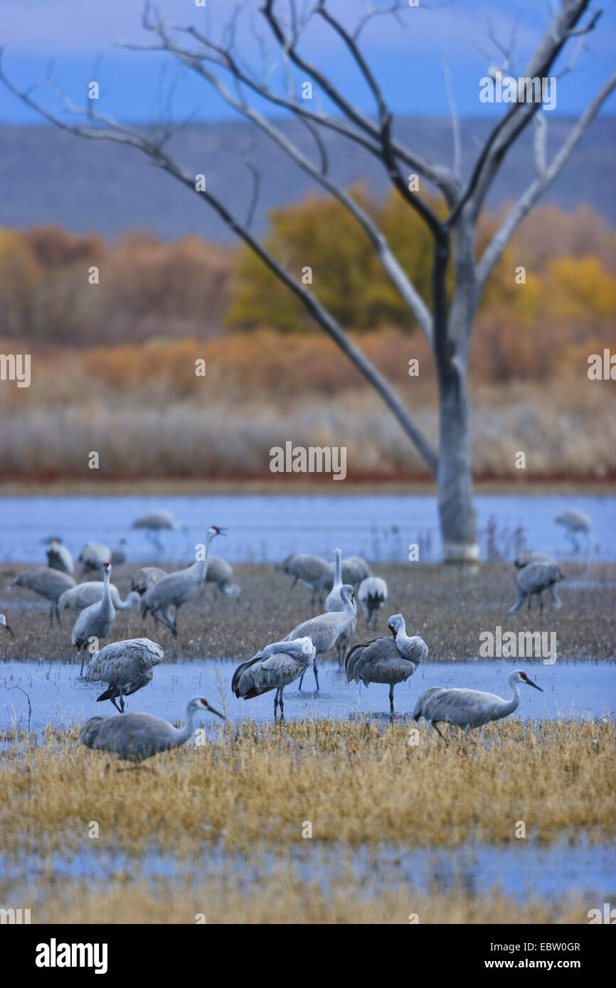 sandhill crane (Grus canadensis), at their roosting place at dusk, USA, New Mexico, Bosque del Apache Wildlife Refuge - Stock Image