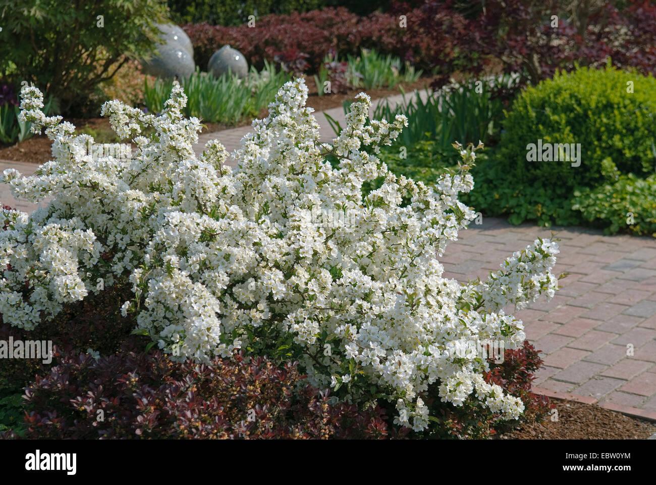 ornamental apple tree (Malus sargentii 'Tina', Malus sargentii Tina, Malus toringo var. sargentii), cultivar - Stock Image