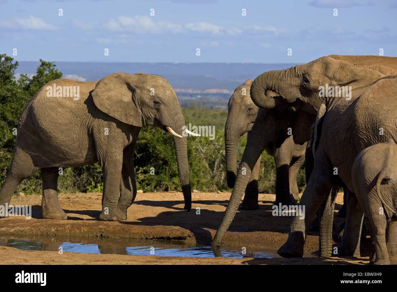 African elephant (Loxodonta africana), drinking family, South Africa, Eastern Cape, Addo Elephant National Park - Stock Image