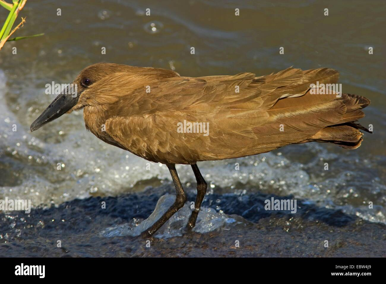 hammercop (Scopus umbretta), sitting on the waterfront, South Africa, Limpopo, Krueger National Park Stock Photo