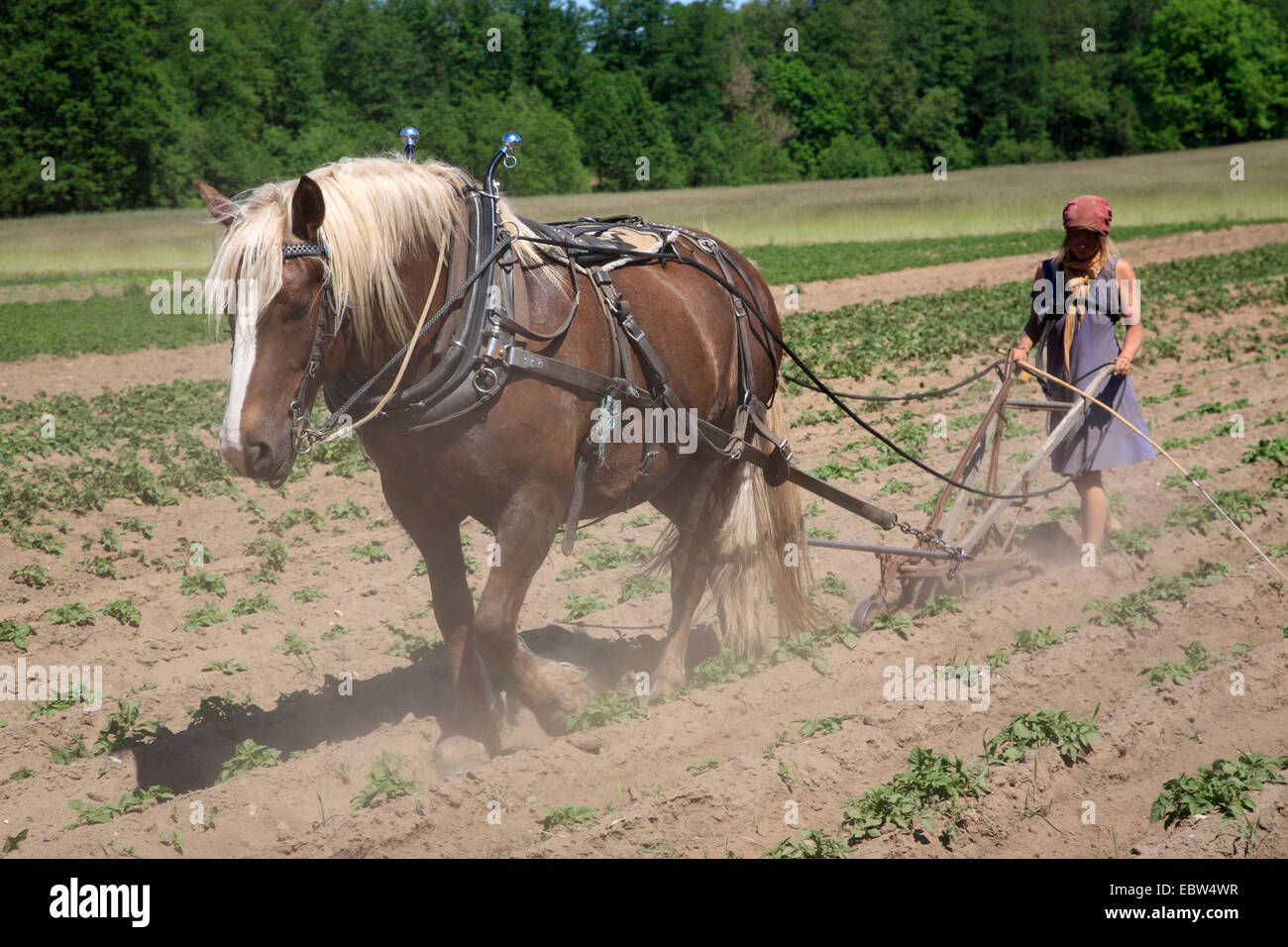 Ecological cultivation by horse, Tangsehl, Wendland, Lower Saxony, Germany, Europe - Stock Image