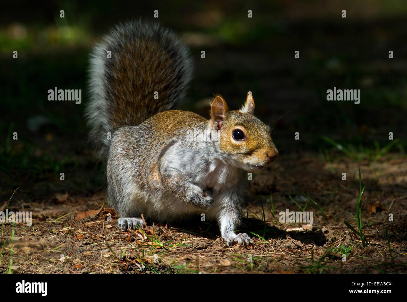 eastern gray squirrel, grey squirrel (Sciurus carolinensis), sitting on forest ground, United Kingdom, England Stock Photo