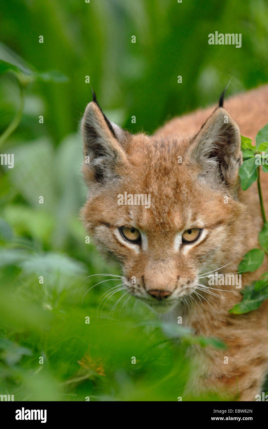 Eurasian lynx (Lynx lynx), pup watching distrustful into the camera - Stock Image