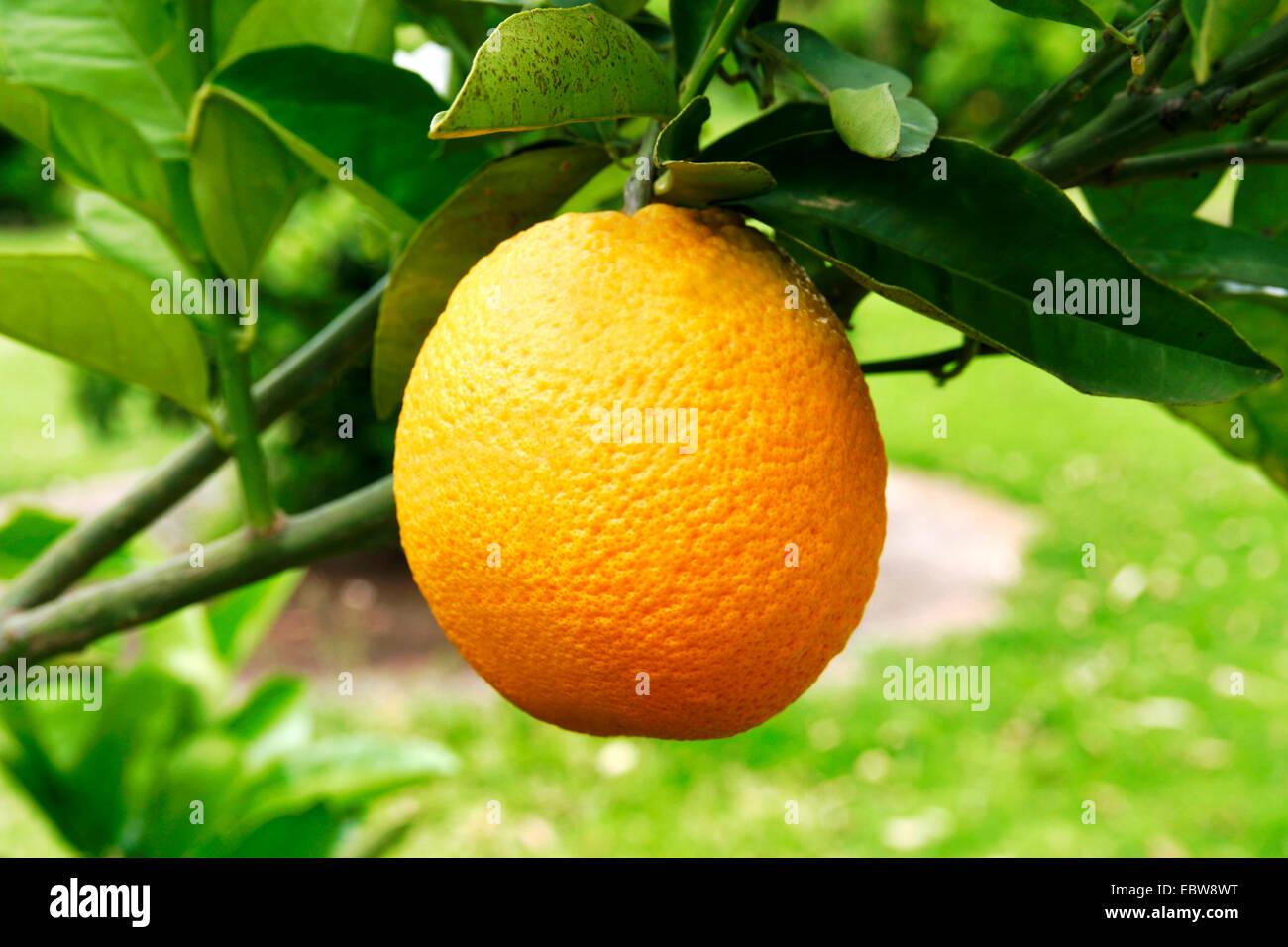 Orange tree (Citrus sinensis), Orange on a orange tree, Spain Stock Photo