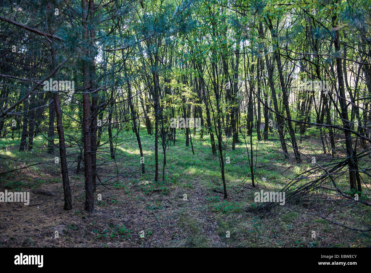 Forest in Chernobyl Exclusion Zone, Ukraine - Stock Image