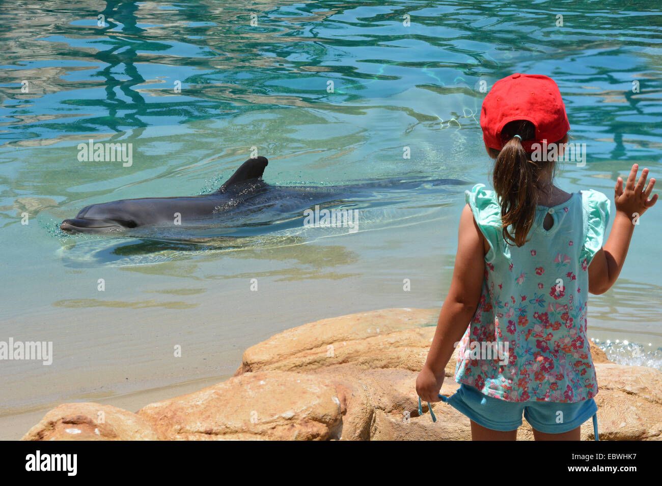 GOLD COAST, AUS -  NOV 11 2014:Bottlenose Dolphin.It's the most common species of dolphin kept in dolphinariums - Stock Image