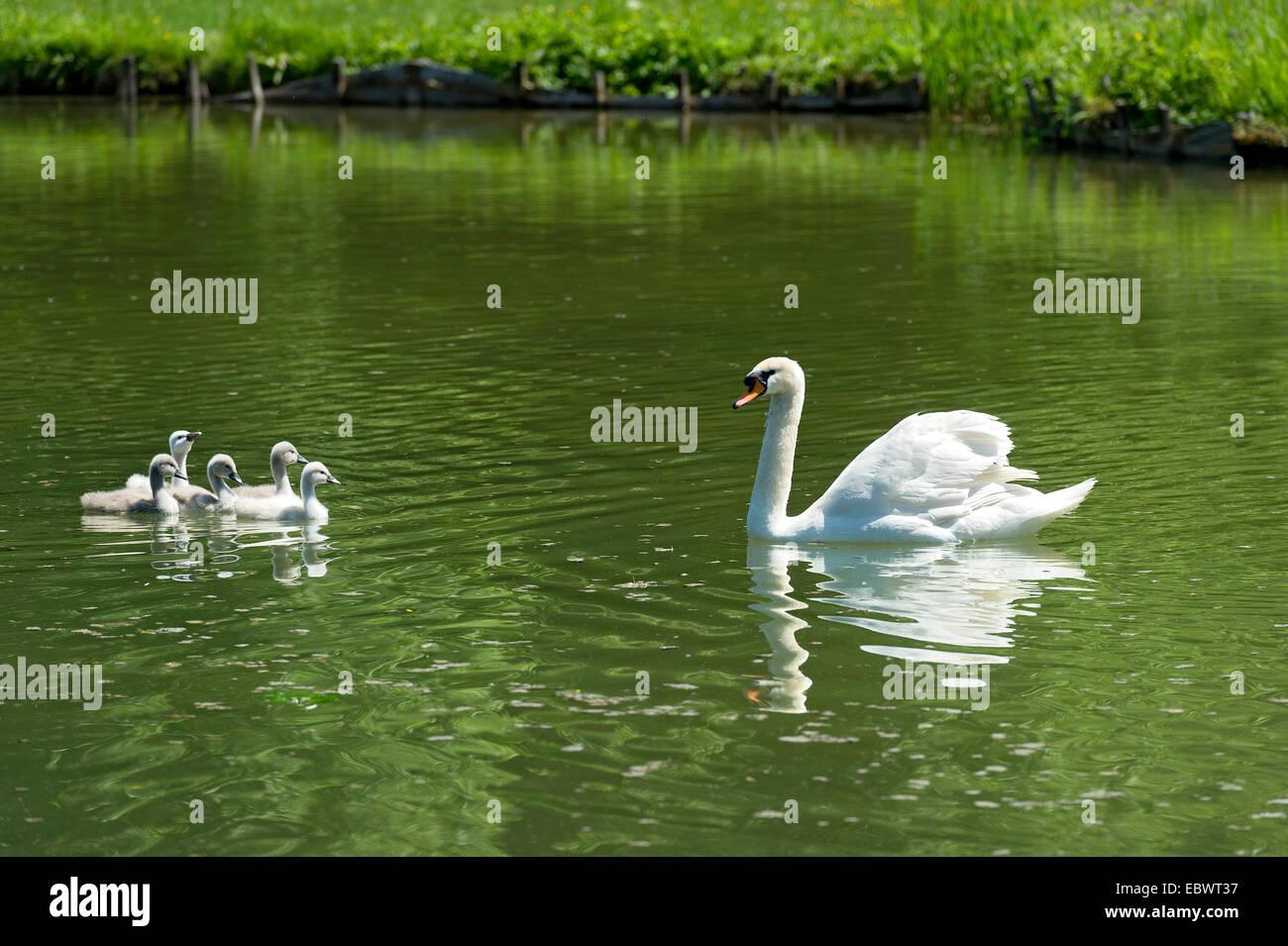 Mute Swan (Cygnus olor) with young birds, Central Canal, Schleissheim Palace complex, Oberschleißheim, Upper - Stock Image