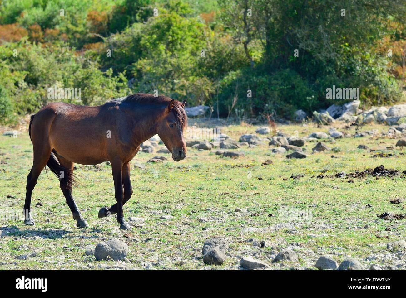 Wild horse, bay stallion, on the Giara di Gesturi plateau, Medio Campidano, Sardinia, Italy Province, Europe - Stock Image