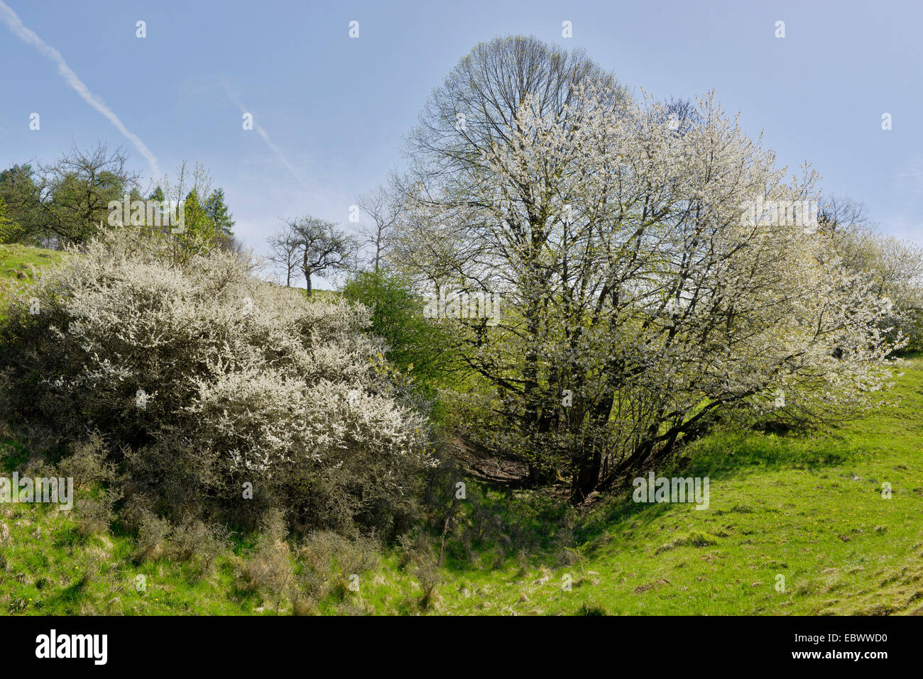Wild cherry, Sweet cherry, gean, mazzard (Prunus avium), landscape with blooming cherry trees and blackthorns, Germany, - Stock Image