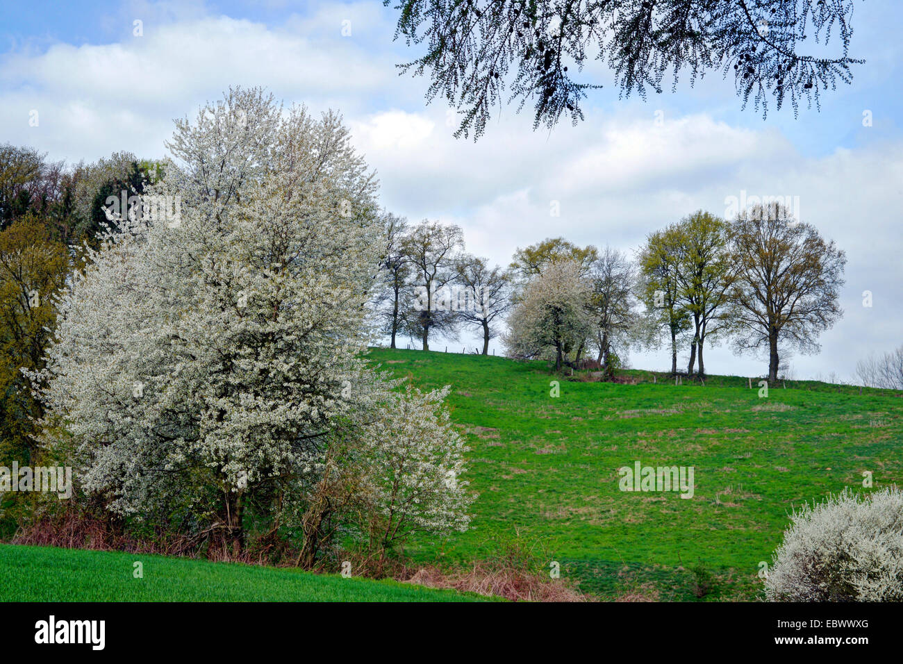 Wild cherry, Sweet cherry, gean, mazzard (Prunus avium), blooming blackthorns and wild cherry trees, Germany, North - Stock Image